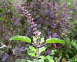 Tulsi (Holy Basil) the Queen of Herbs